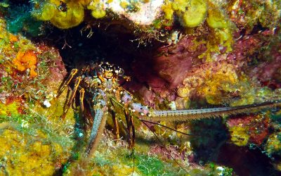 Spiny Lobster