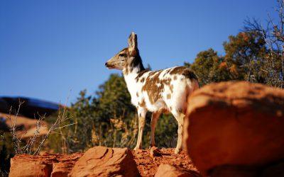 Piebald Mule Deer Doe